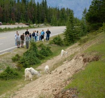 white_goats